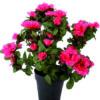 pianta di azalea rossa