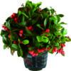 pianta gaultheria