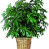 pianta schefflera
