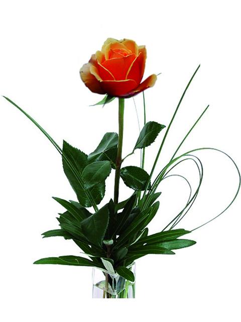 una rosa arancio