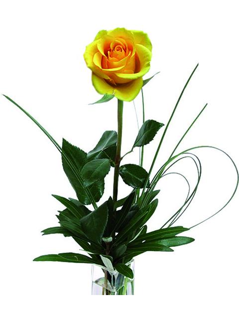 una rosa gialla